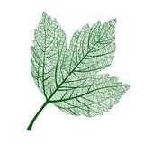 Vector leaf isolated. Natural macro leaf. Royalty Free Stock Photos