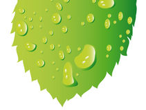 Vector leaf with water drops Stock Photos