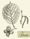 Vector leaves, flowers and fruits of the hazel Stock Photography