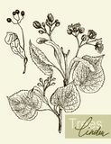 Vector leaves, flowers and fruits of the linden. Vintage graphic Vector leaves, flowers and fruits of the linden Stock Photos