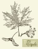 Vector leaves, flowers and fruits of the maple. vector illustration