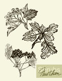 Vector leaves, flowers and fruits of the viburnum Stock Image