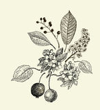 Vector leaves, flowers and fruits of the wild pear, bird-cherry and crab vector illustration