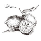 Vector lemon citrus hand drawn sketch in ink  Royalty Free Stock Photo