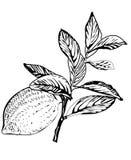 Vector lemon tree branch. Hand drawn Stock Images