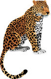 Vector Leopard Panthera pardus. Isolated Stock Photos