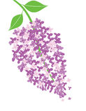 Vector lilac flower Royalty Free Stock Image