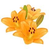 Vector lilies. Vector beautiful bouquet of orange lilies Stock Images