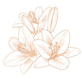Vector lilies flowers. Vector lilies flowers in vintage engraving style Royalty Free Stock Image