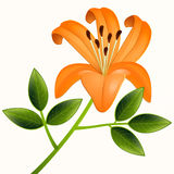 Vector lily flower Stock Images