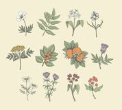 Vector Line Art Plants. Vintage vector field flowers and wild plants illustration. Colored engraving style detailed graphic Royalty Free Stock Image