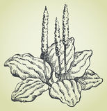 Vector line drawing of plantain Stock Photography