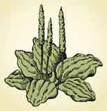 Vector line drawing of plantain. Goosegrass. Greater plantain leaves is used in tisane and herbal remedies on white background. Monochrome freehand outline ink Royalty Free Stock Photos