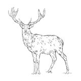 Vector line drawing of a wild deer isolated on white background.  royalty free illustration