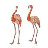 Vector lo schizzo strutturato variopinto disegnato a mano di due fenicotteri rosa dei longshanks su un fondo bianco Uccello tropi royalty illustrazione gratis