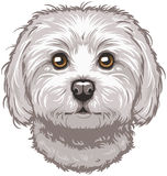 Vector Maltese Dog Stock Photo
