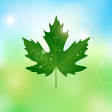 Vector maple leaf with drops of water Royalty Free Stock Photography