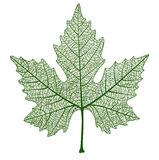 Vector maple leaf isolated. Royalty Free Stock Photography
