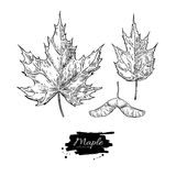 Vector maple leaves and seed drawing set. Autumn elements. Hand drawn detailed botanical illustration. Vintage fall seasonal decor. Great for label, sign, icon Stock Images