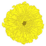 Vector marigold flower. Royalty Free Stock Image