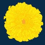 Vector marigold. Stock Photography