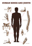 Vector medical vector poster of human bones joints Royalty Free Stock Photos
