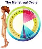 A Vector of the Menstrual Cycle. Illustration vector illustration