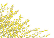 Vector mimosa flowers isolated. Royalty Free Stock Photos