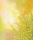 Vector mimosa flowers on spring background. Royalty Free Stock Images