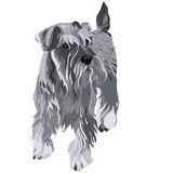 vector Miniature Schnauzer dog Royalty Free Stock Image