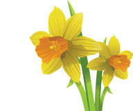 Vector narcissen. Pasen de lentebloemen Stock Foto's