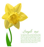 Vector Narcissus Royalty Free Stock Images