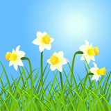 Vector narcissus and grass. Royalty Free Stock Photography