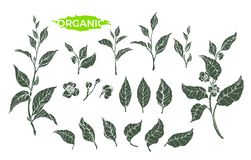 Vector natural set of green tea branch. Vector set of green tea bush, branch, flower, leaves on white background. Realistic shape collection. Natural hand draw vector illustration