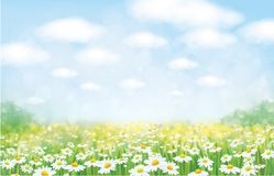 Vector  nature background. Vector  nature background, blue sky, green grass and chamomiles field vector illustration