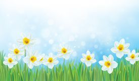Vector daffodil flowers. stock illustration