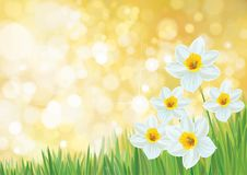 Vector daffodil flowers. royalty free illustration