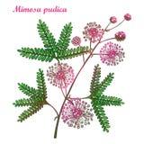 Vector Niederlassung von Entwurf Mimose pudica oder Schamhafte Sinnpflanze oder Note-ich-nicht Anlage Rosa Blume, Knospe und grün Lizenzfreie Stockfotografie