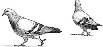 Vector o esboço dos pombos urbanos que vão para uma caminhada Imagem de Stock