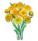 Vector o ramalhete com a flor do áster do amarelo do esboço, folha verde ornamentado e botão isolados no fundo branco Áster do co Ilustração Stock