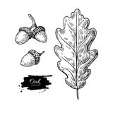 Vector oak leaf and acorn drawing set. Autumn elements. Hand drawn detailed botanical illustration. Vintage fall seasonal decor. Great for label, sign, icon Stock Photo