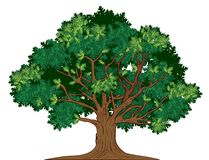 Vector oak tree. Vector illustration of old green oak tree