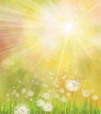 Vector Of Spring Background With White Dandelions. Stock Image