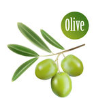Vector olive oil. Decorative olive branch. For Stock Images