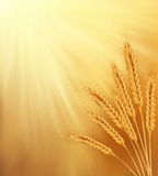 Vector orange background with sun rays and ears of wheat. Orange background with sun rays and ears of wheat Royalty Free Stock Photography