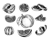 Vector oranges hand drawn. Vector oranges and tangerine hand drawn sketch on white Stock Image