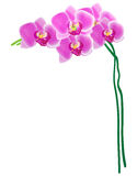 Vector: Orchid isolated on white background. Illustration of orchid isolated on white background Stock Illustration