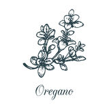Vector oregano illustration.Hand drawn sketch of spice plant.Botanical drawing in engraving style.Organic herb isolated. Royalty Free Stock Photos
