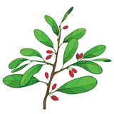 Vector outline branch of Cocaine plant or Erythroxylum coca with ornate green leaf and red fruit isolated on white background. Royalty Free Stock Photography