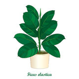 Vector outline ornamental houseplant Ficus elastic or rubber plant in beige flowerpot  on white background. Indoor Ficus. Royalty Free Stock Photos